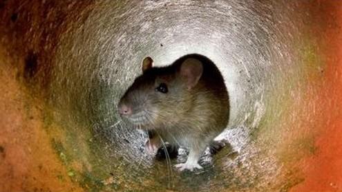Nombre record de plaintes contre les rats à New York