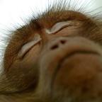 Les singes dorment plus que l'homme et leur sommeil est moins réparateur. Des différences que des chercheurs ont tenté d'expliquer.